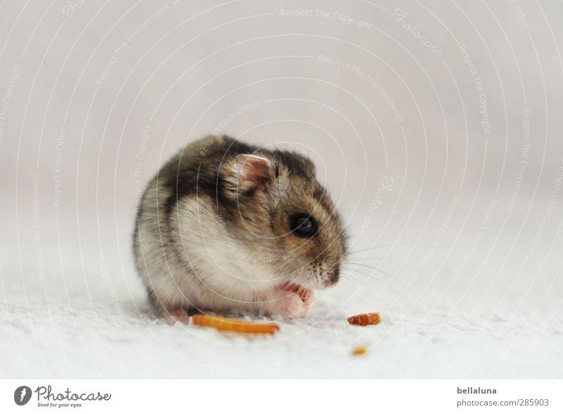 Karli | Für Mehlwürmer tat er alles. Tier Haustier Tiergesicht Fell Pfote 1 sitzen weich grau weiß Hamster Zwerghamster Mehlwurm Fressen Essen Farbfoto