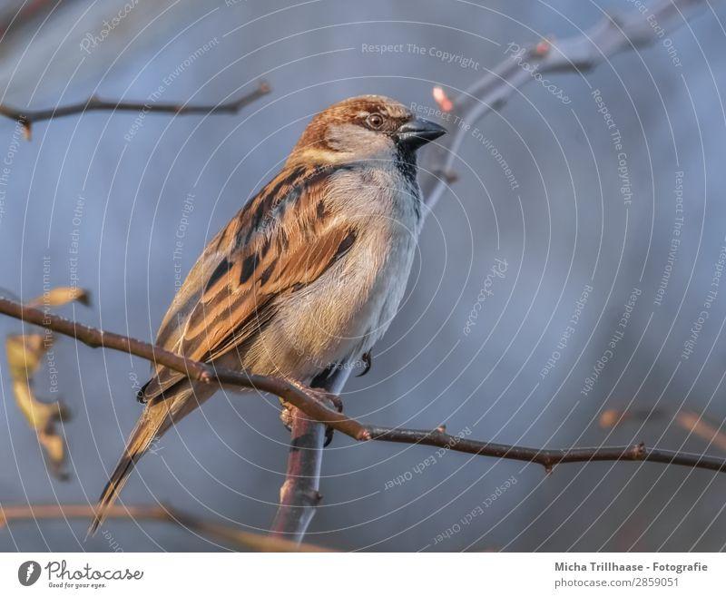 Spatz im Sonnenschein Natur Tier Himmel Sonnenlicht Schönes Wetter Baum Zweige u. Äste Wildtier Vogel Tiergesicht Flügel Krallen Sperlingsvögel Schnabel Auge