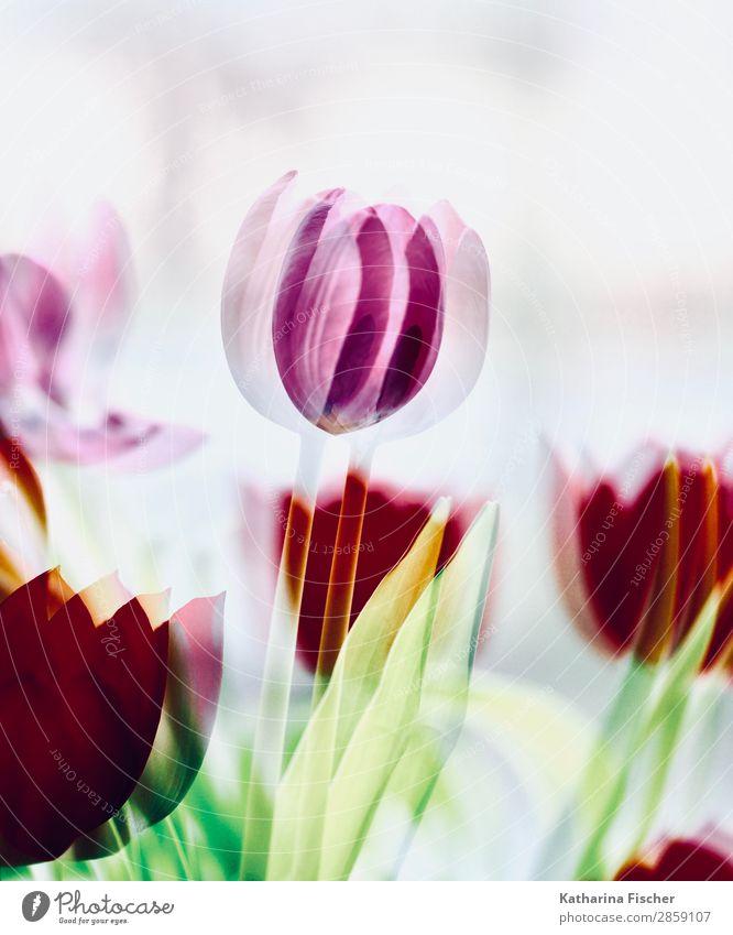 Tulpe Telpen rot tosa Kunst Natur Pflanze Frühling Sommer Herbst Winter Blume Blatt Blüte Blumenstrauß Blühend leuchten gelb grün rosa türkis weiß malerisch