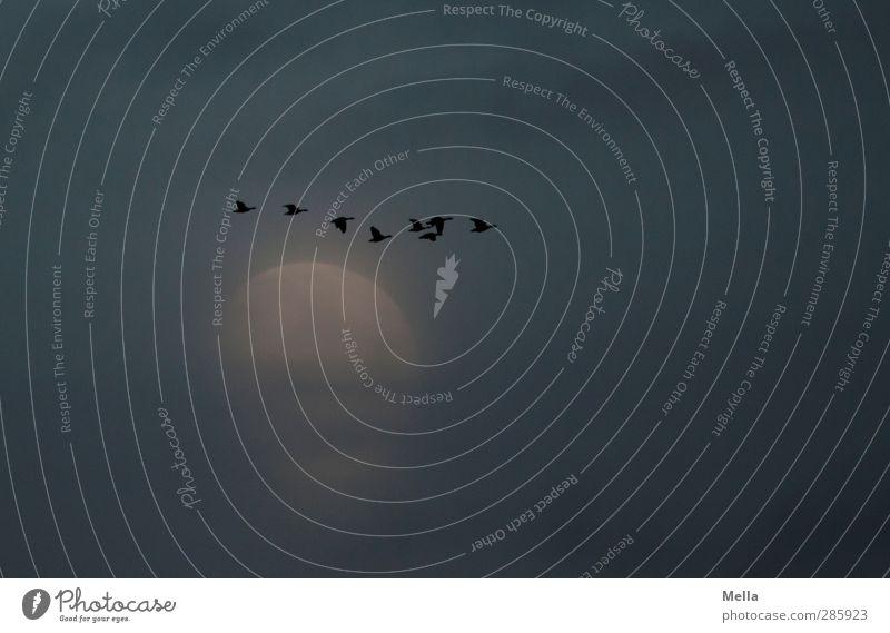 Moonlight Flying Part II Umwelt Natur Luft Himmel Nachthimmel Mond Vollmond Tier Vogel Gans Wildgans Tiergruppe Schwarm fliegen leuchten frei Zusammensein klein