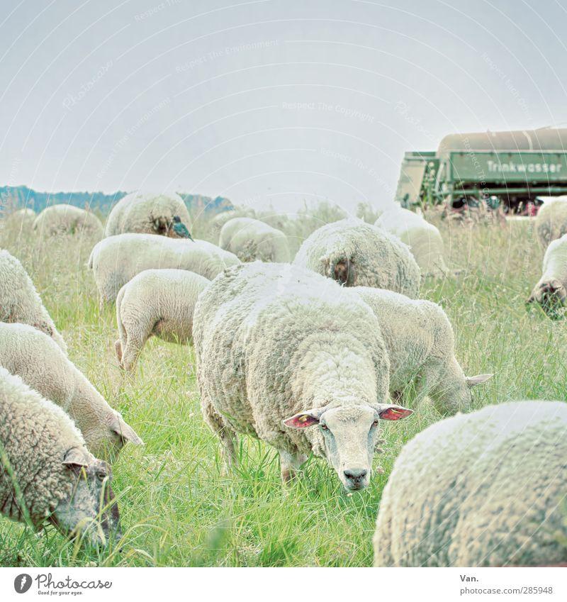 Ich kann dich sehen! Natur Wolkenloser Himmel Gras Anhänger Tier Haustier Nutztier Schaf Wolle Herde Fressen kalt grün Farbfoto Gedeckte Farben Außenaufnahme