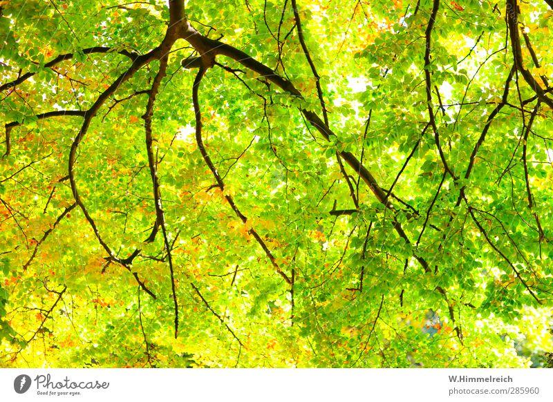 Baumkrönung grün Pflanze Blatt Wald gelb Herbst Gefühle Holz hell Gesundheit Park gold Zufriedenheit groß authentisch