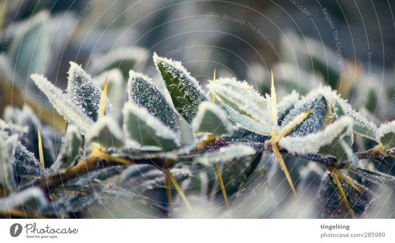 frostig Natur Pflanze Klima Wetter Eis Frost Sträucher Blatt frieren stachelig gelb grün weiß Eiskristall Raureif Ast kalt gefroren spitz Farbfoto Außenaufnahme