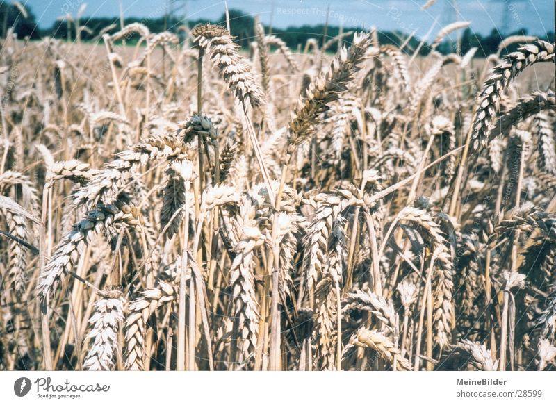 Weizenfeld Sommer Feld Weizen Ehre