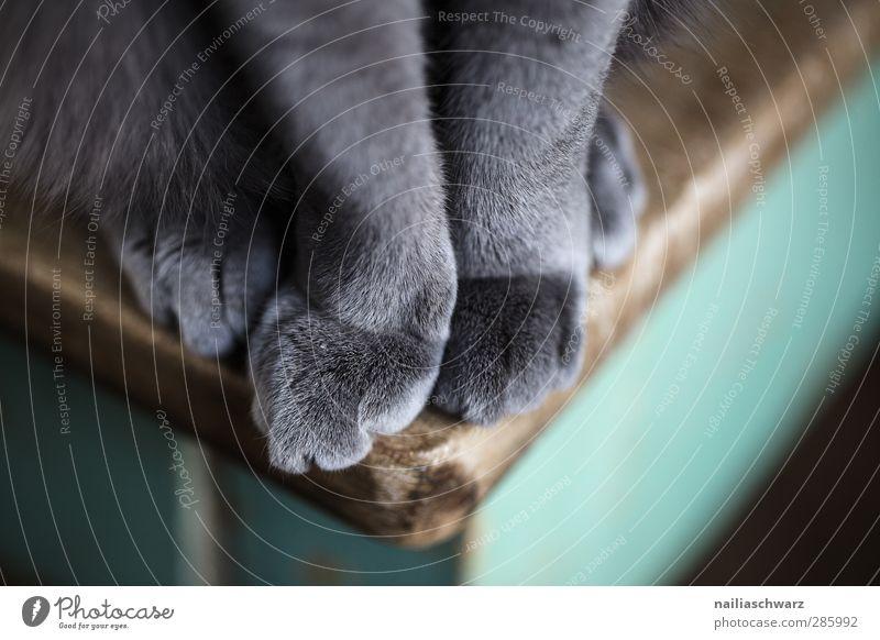 Samtpfote Katze blau grün schön Tier Erholung Holz grau sitzen Zufriedenheit Ordnung elegant Warmherzigkeit Tisch niedlich weich
