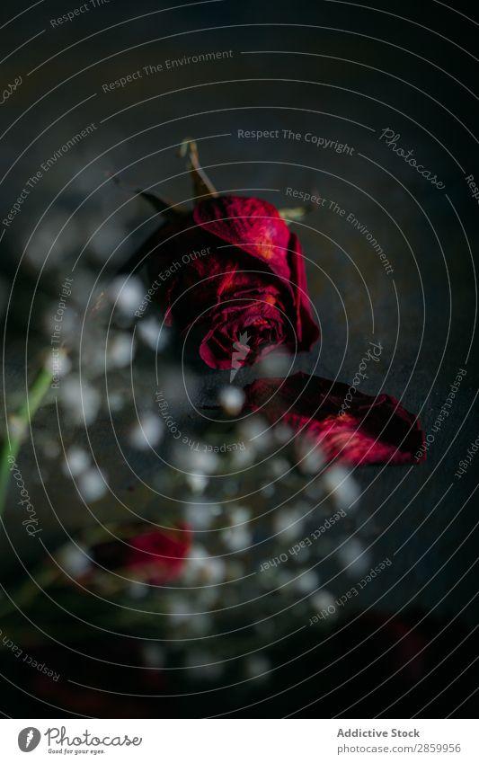 Getrocknete Rosen auf dunklem Hintergrund alt schön Blume Blumenstrauß dunkel Tod dekorieren getrocknet Trockenblumen geblümt Licht Liebe lieblich Blütenblatt