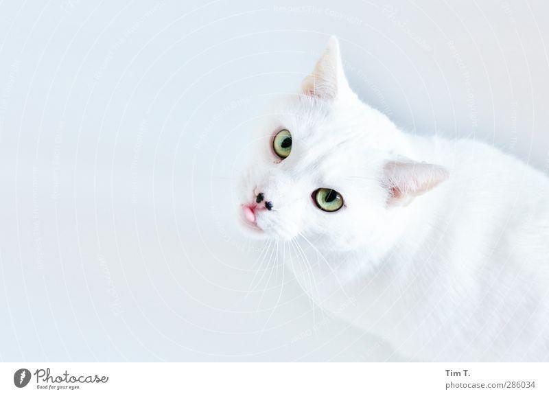 Du kickst hier,ick wohn hier Tier Haustier Katze 1 Blick elegant Leben sparsam Hauskatze weiß Herr Müller Weißer Kater Farbfoto Innenaufnahme Nahaufnahme