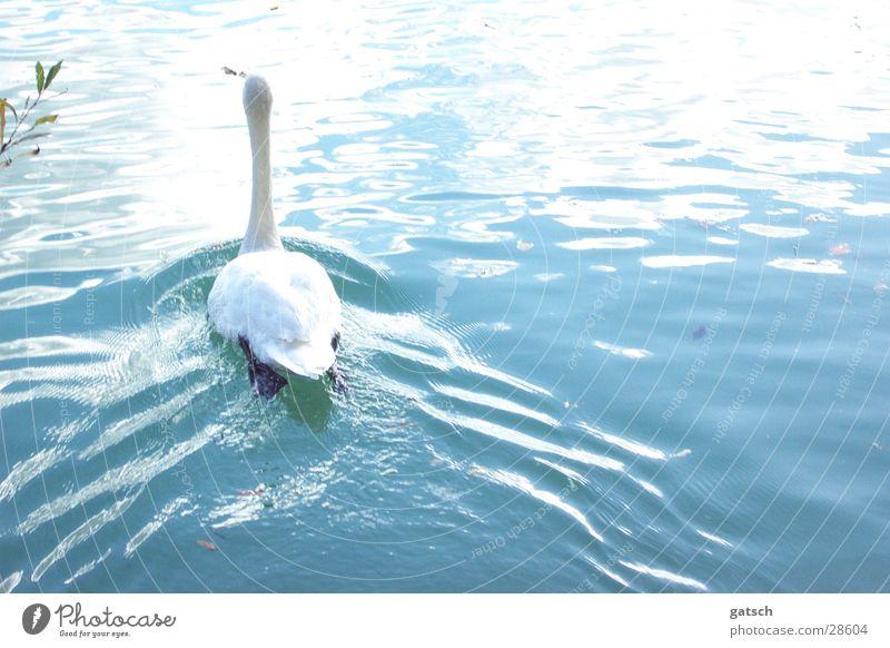 Schwan von Hinten See Wellen Wasser blau Im Wasser treiben Schwimmen & Baden