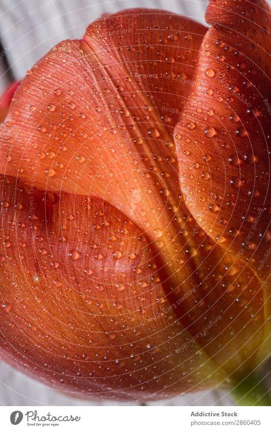 Nahaufnahme eines Tulpenblatts Ordnung Blume Blumenstrauß Haufen Tau geblümt Blumenhändler Liebe natürlich Blütenblatt Geschenk Romantik romantisch