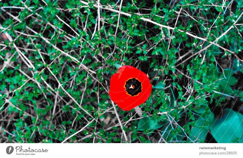 Mohn Blume Einsamkeit Wiese Dorn
