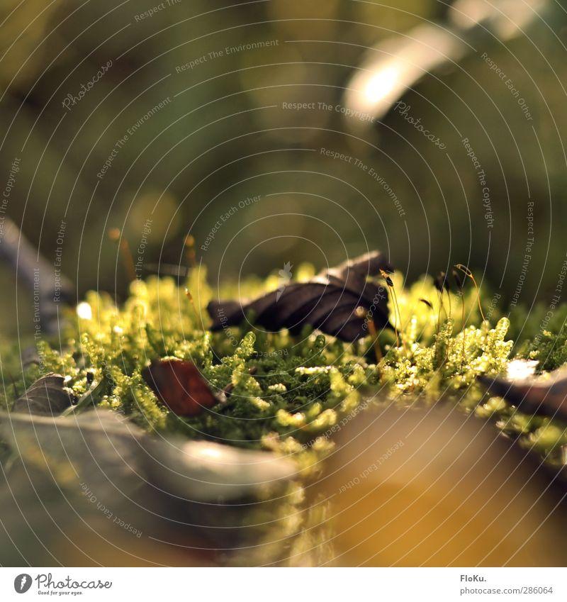 Bett aus Moos Umwelt Natur Pflanze Erde Sonnenlicht Herbst Gras Blatt Grünpflanze Wildpflanze frisch natürlich Wärme braun grün Moor Farbfoto Außenaufnahme