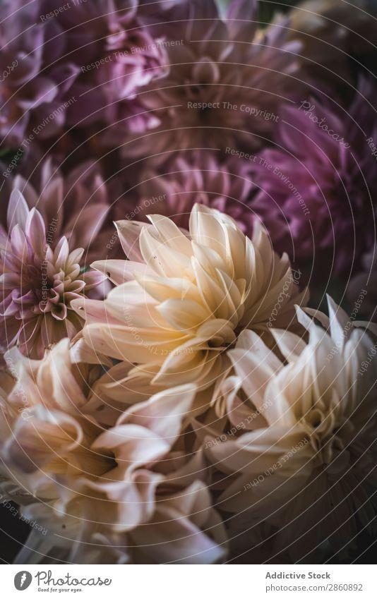 Blumenstrauß aus frischen rosa Blumen Chrysantheme Haufen schön Zusammensetzung Pflanze Natur Blütenknospen Blütenblatt Botanik organisch