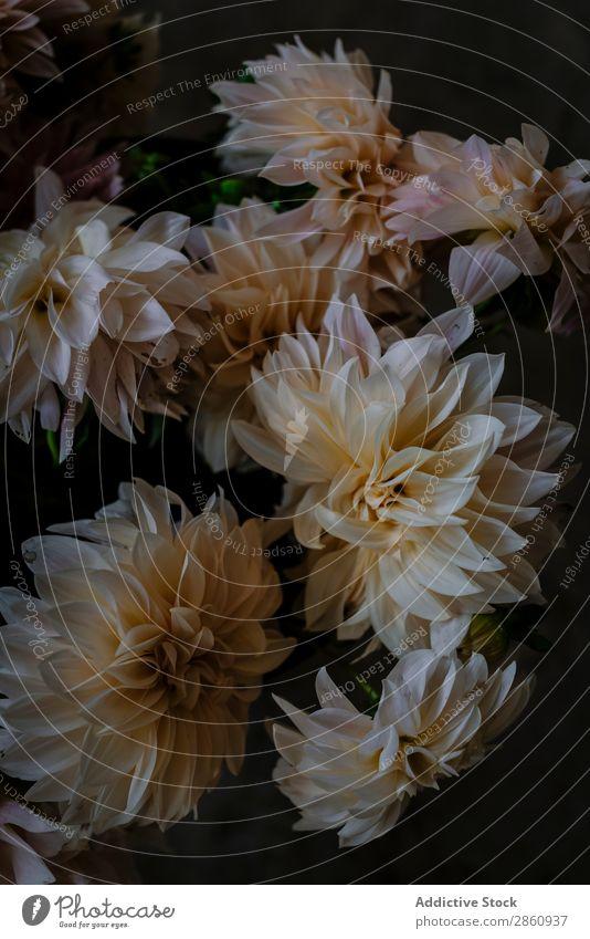 Blumenstrauß aus frischen weißen Blumen Chrysantheme Haufen rosa schön Zusammensetzung Pflanze Natur Blütenknospen Blütenblatt Botanik organisch