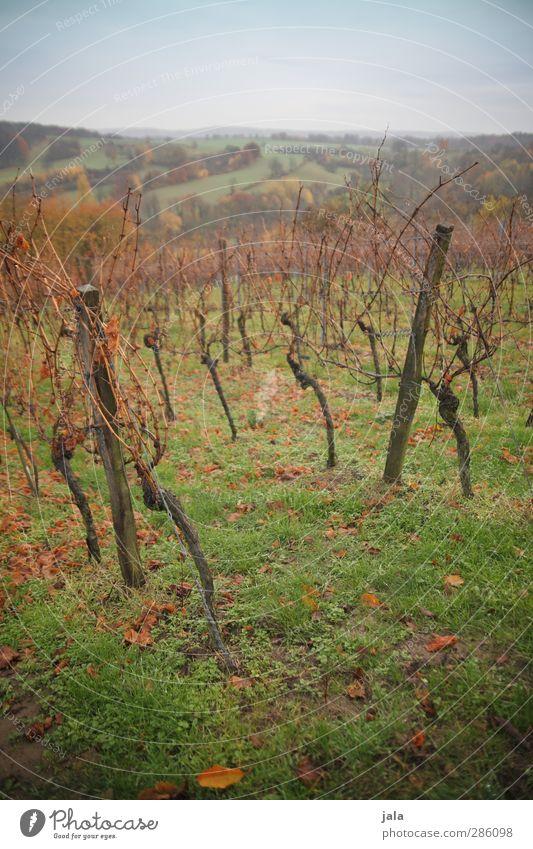 reben Himmel Natur grün Pflanze Landschaft Umwelt Wiese Herbst Gras braun natürlich Feld Wein Hügel Grünpflanze Nutzpflanze