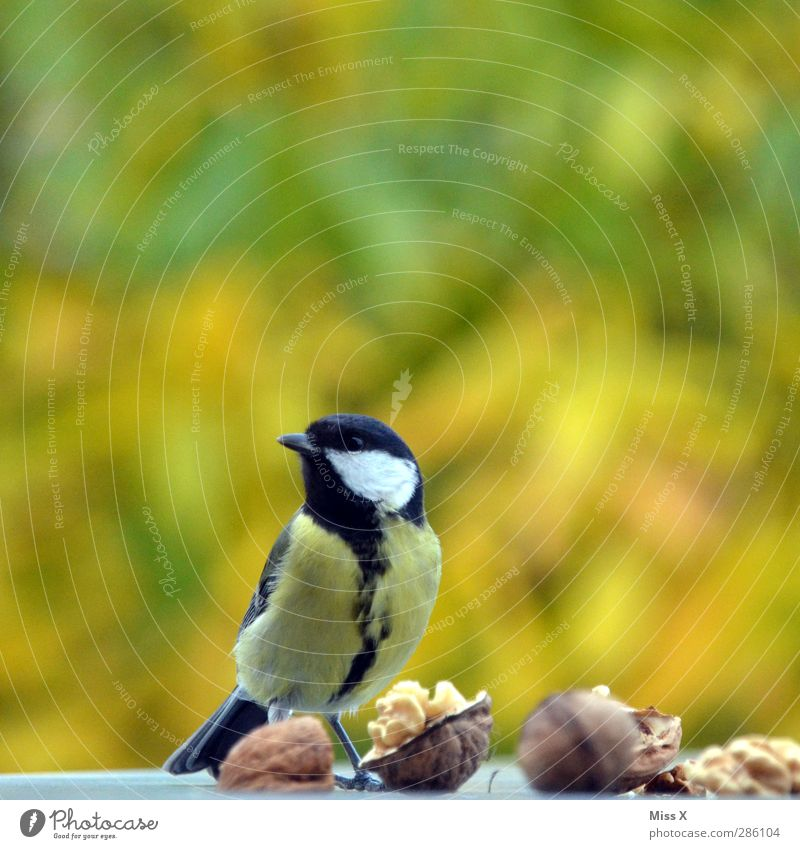 Meisenspeise Essen Herbst Tier Wildtier Vogel 1 Neugier Schüchternheit Walnuss Nuss entwenden Nahrungssuche Farbfoto mehrfarbig Außenaufnahme Nahaufnahme