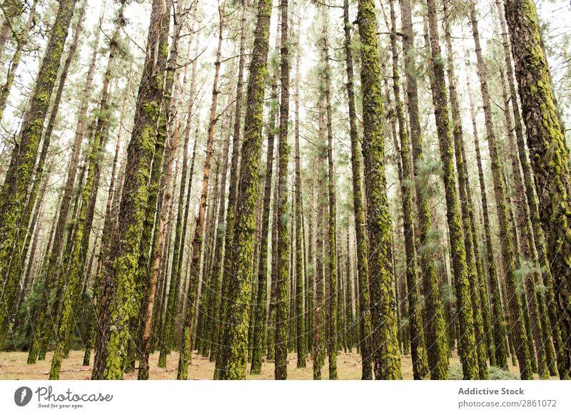 Wald mit moosigen Bäumen Natur Ferien & Urlaub & Reisen Rüssel Moos Höhe Baum hoch Tourismus Landschaft wandern schön Park Abenteuer grün wild Jahreszeiten