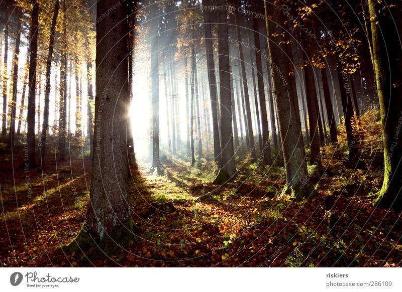 lichtdurchflutet Umwelt Natur Landschaft Pflanze Sonne Sonnenaufgang Sonnenuntergang Sonnenlicht Herbst Schönes Wetter Nebel Wald Stimmung ruhig Leben Reinheit