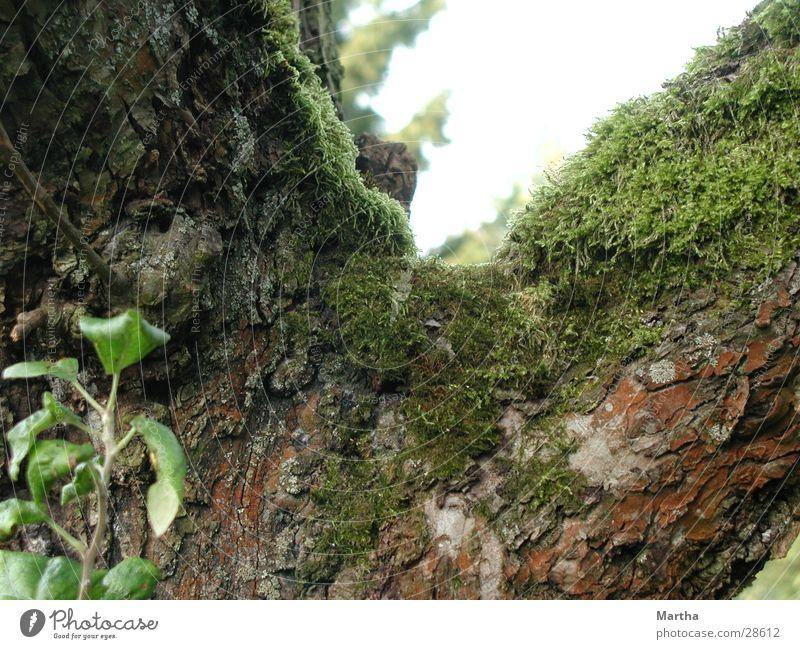In die Jahre gekommen Baum Baumstamm Baumrinde Apfelbaum