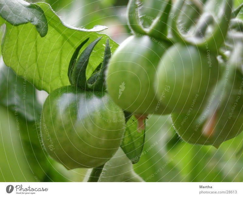 Warten auf die Tomaten Blatt Blüte Gesundheit Wachstum Gemüse reif Ackerbau Tomate fruchtbar Reifezeit