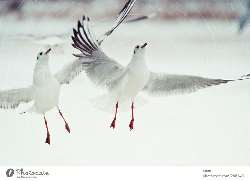 Flugshow Winter Tier Urelemente Luft Wildtier Vogel Flügel 2 Tierpaar hell wild weiß Möwe fliegend Möwenvögel Feder Rotschnabelmöwe tierisch Farbfoto mehrfarbig