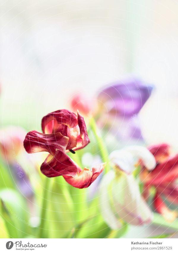 verblüht Tulpe rot lila Kunst Kunstwerk Natur Pflanze Frühling Sommer Herbst Winter Blume Blumenstrauß Blühend leuchten schön gelb gold grün violett orange rosa