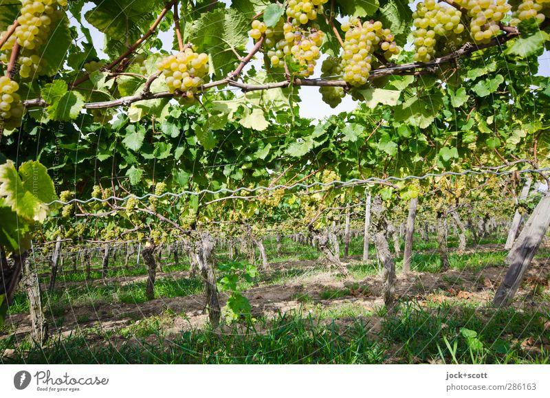 Terroir Weintrauben Kultur Erde Sommer Gras Blatt Baumstamm Sträucher Weinberg Franken Holz hängen Wachstum lang nachhaltig natürlich Wärme grün Stimmung ruhig