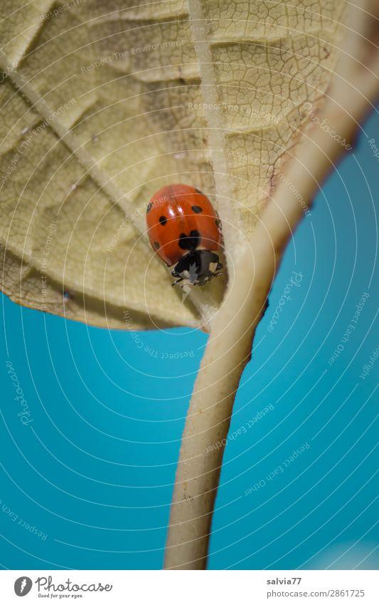 Ein jeder ist seines Glückes Schmied Marienkäfer Siebenpunkt-Marienkäfer Glück bringen krabbeln Blatt Leben Blattadern Symbole & Metaphern Wege & Pfade Kontrast