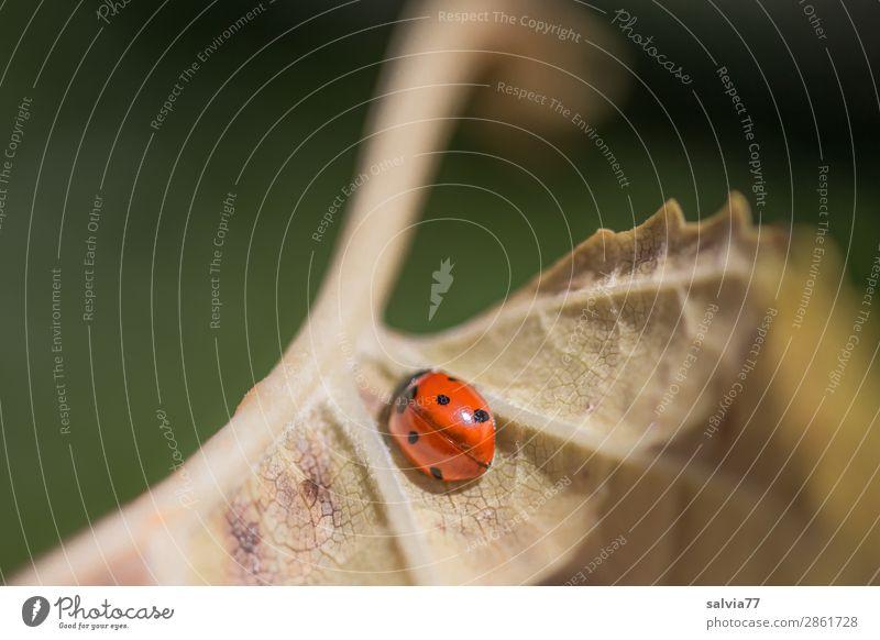 Sonnenkäfer Umwelt Natur Herbst Pflanze Blatt Blattadern Tier Käfer Marienkäfer Siebenpunkt-Marienkäfer 1 krabbeln niedlich oben positiv gelb grün orange Pause