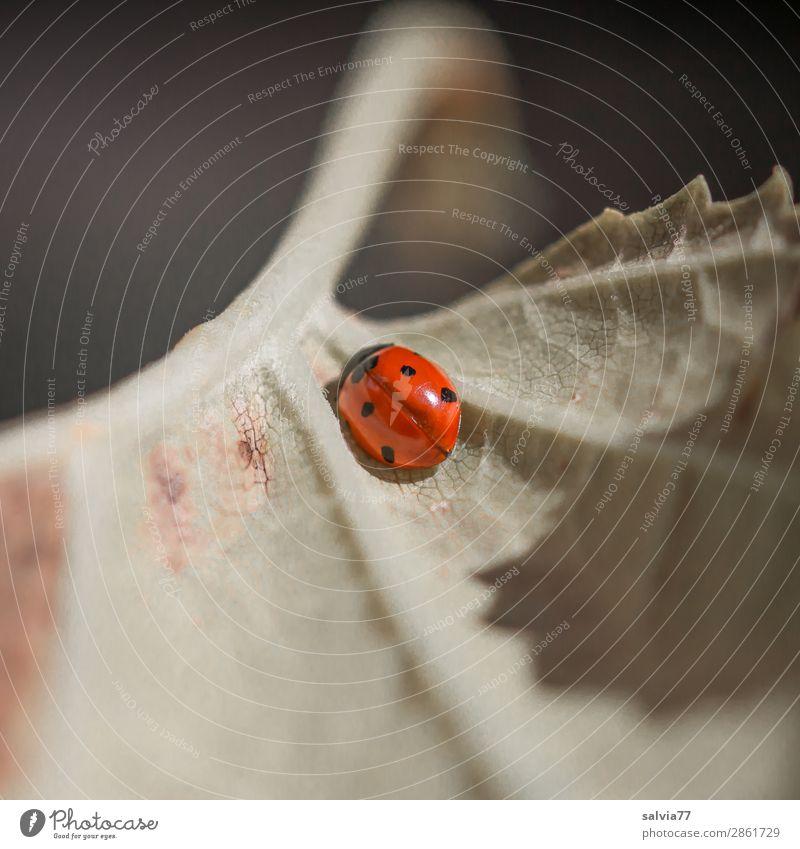 Blattadern Umwelt Natur Pflanze Tier Käfer Insekt Marienkäfer Siebenpunkt-Marienkäfer 1 krabbeln klein Glück Pause Schutz Symmetrie Vergänglichkeit