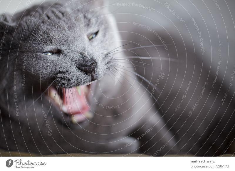 Miau Gesicht Zähne Tier Haustier Katze Fell 1 Erholung schlafen elegant kuschlig lustig niedlich positiv blau grau Zufriedenheit Tierliebe Müdigkeit bequem