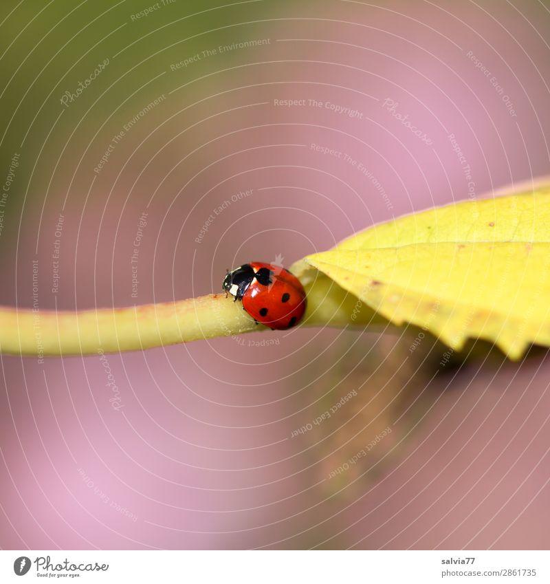 siebenpunkt Umwelt Natur Herbst Pflanze Blatt Herbstfärbung Garten Tier Käfer Marienkäfer Siebenpunkt-Marienkäfer Insekt 1 krabbeln klein niedlich positiv Wärme