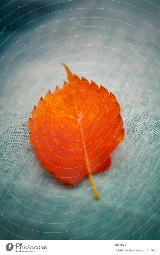 Herbstblatt Blatt Jeanshose leuchten liegen ästhetisch Freundlichkeit positiv blau orange Farbe rein Herbstlaub 1 intensiv Farbfoto Außenaufnahme Nahaufnahme