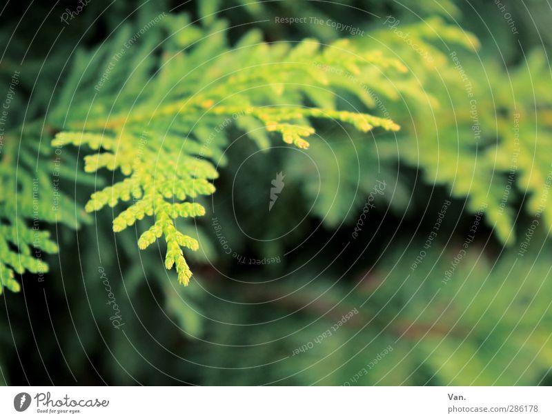 Abzweigung Natur grün Pflanze Baum Garten frisch Zweig Tannennadel Konifere