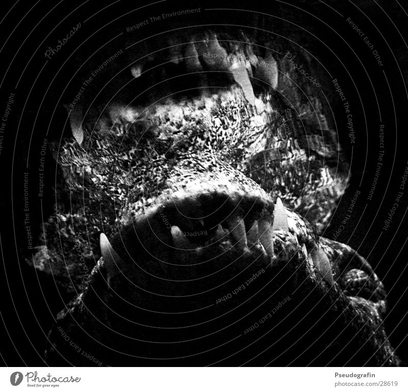dangerous Wasser Tier schwarz Wildtier bedrohlich Gebiss Tiergesicht Zoo Aggression Aquarium Maul Krokodil Unterwasseraufnahme
