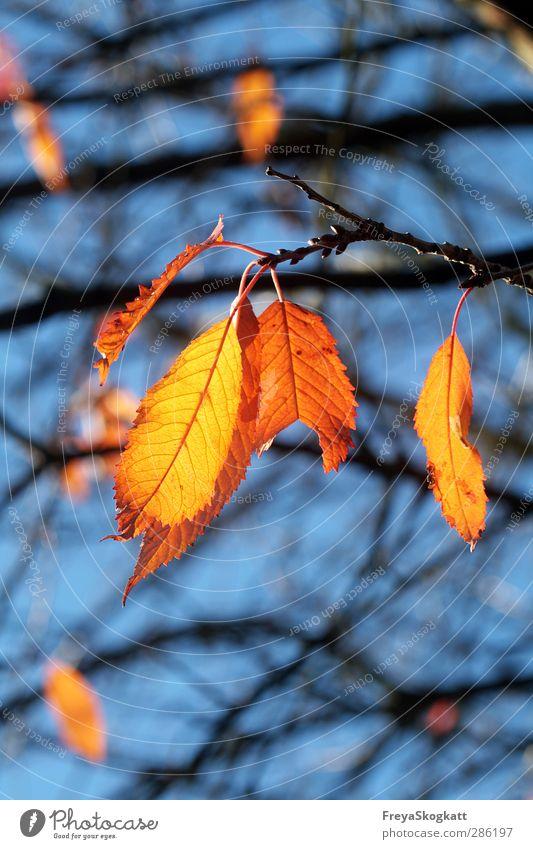Herbstlich Natur Pflanze Himmel Sonnenlicht Wetter Schönes Wetter Blatt Wald berühren ästhetisch Glück natürlich blau gelb orange Zufriedenheit Freundschaft