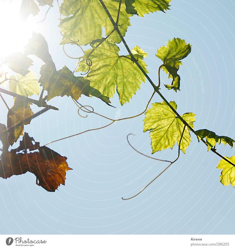 Nachlese... Wein Natur Pflanze Herbst Blatt Grünpflanze Nutzpflanze Kletterpflanzen Weinranken Feld hängen Wachstum blau grün Fröhlichkeit Lebensfreude hell