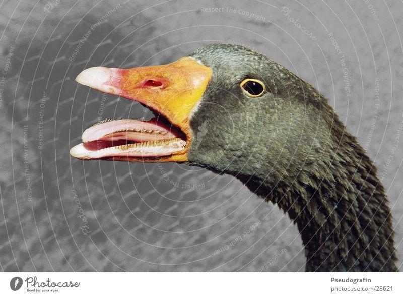 *kreisch* Nutztier Vogel Tiergesicht 1 schreien Gans Schnabel Zunge Hals Farbfoto Gedeckte Farben Außenaufnahme Menschenleer Hintergrund neutral Tierporträt