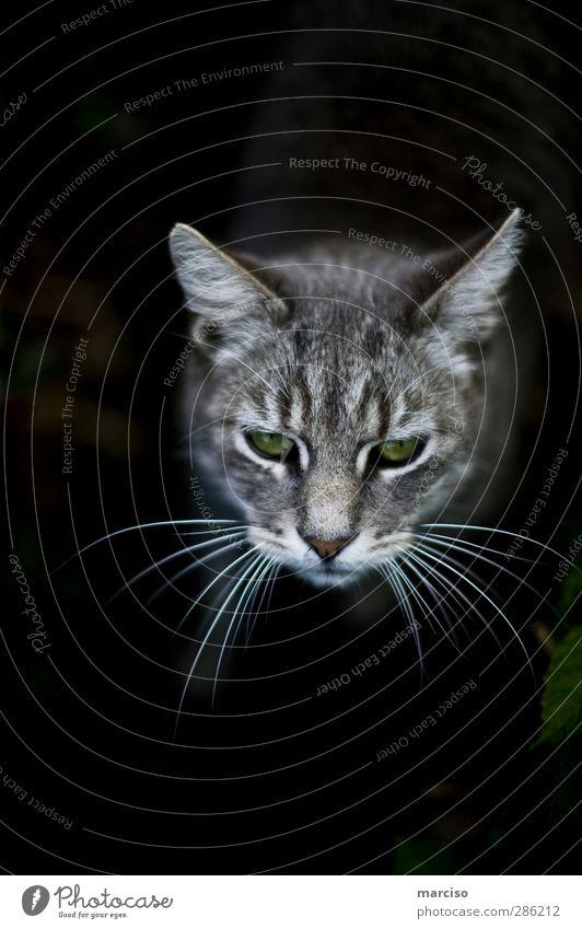 greeneye Haustier Katze Tigerkatze Hauskatze 1 Tier schön listig niedlich klug wild grün Tierliebe Neugier Interesse Farbfoto Außenaufnahme Tag Totale