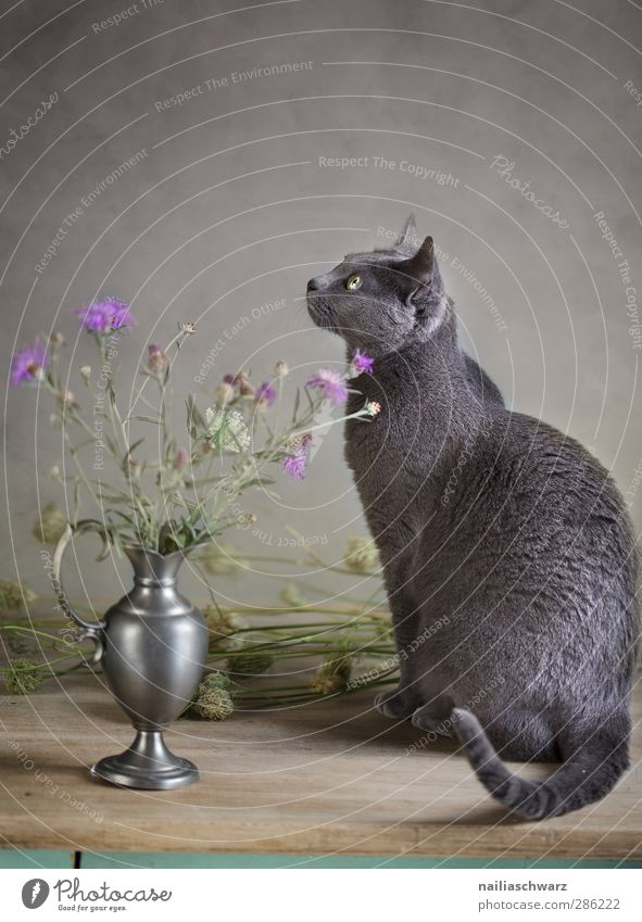 Stillleben mit Katze Pflanze Blume Tier Haustier Reinrassig Russisch Blau 1 Holz Metall Blühend sitzen ästhetisch Vase Kornblume herbstlich Herbst ruhig