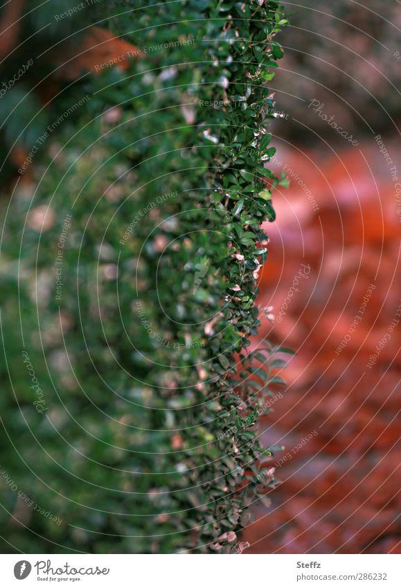 an der Hecke entlang weiter zum Herbst Grünpflanze Sträucher Novemberstimmung buschig Ordnung Heckenschnitt Zaun Grenze Gartenbau herbstlich Herbstlaub Oktober