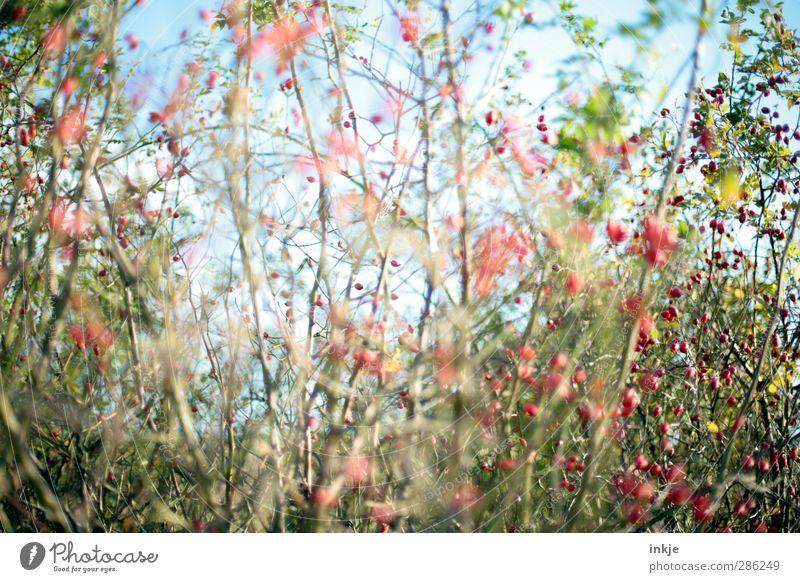 der geheime Garten Umwelt Natur Pflanze Sommer Herbst Schönes Wetter Sträucher Wildpflanze Hundsrose Hagebutten Park Wachstum wild blau grün rot bewachsen eng