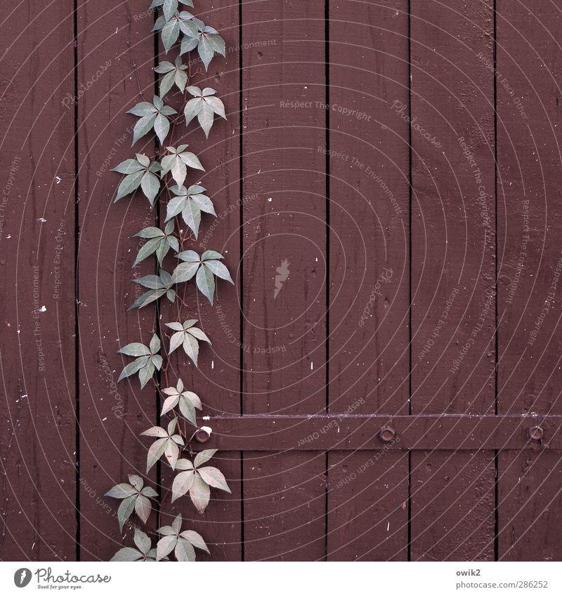 Free Climbing Natur Pflanze Blatt Wildpflanze Efeu Wurzelkletterer Ranke Tür Scharnier Schraube Holztür einfach fest nah natürlich viele blau braun rosa Kraft