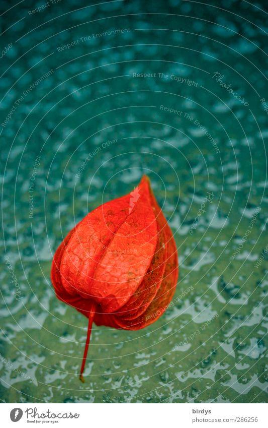 Lampionfrucht auf Eis blau Wasser rot Farbe Winter kalt Herbst außergewöhnlich groß leuchten ästhetisch gefroren Schweben positiv Farbverlauf