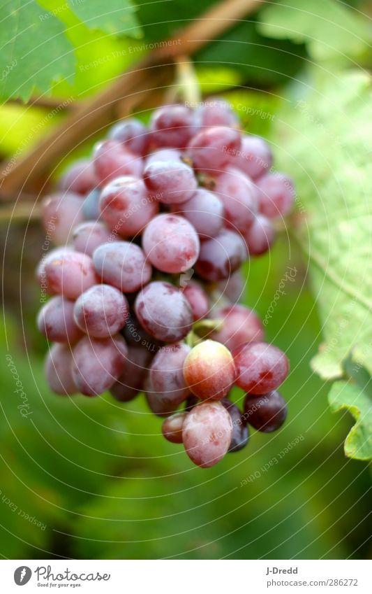 Weintrauben Umwelt Natur Pflanze Blatt Nutzpflanze Hügel Zufriedenheit Farbfoto mehrfarbig Außenaufnahme Tag Licht Unschärfe Zentralperspektive