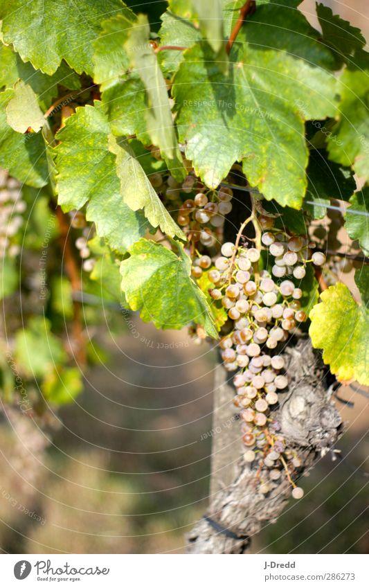 Weinstock Natur Pflanze Blatt Umwelt Stil Dienstleistungsgewerbe Nutzpflanze