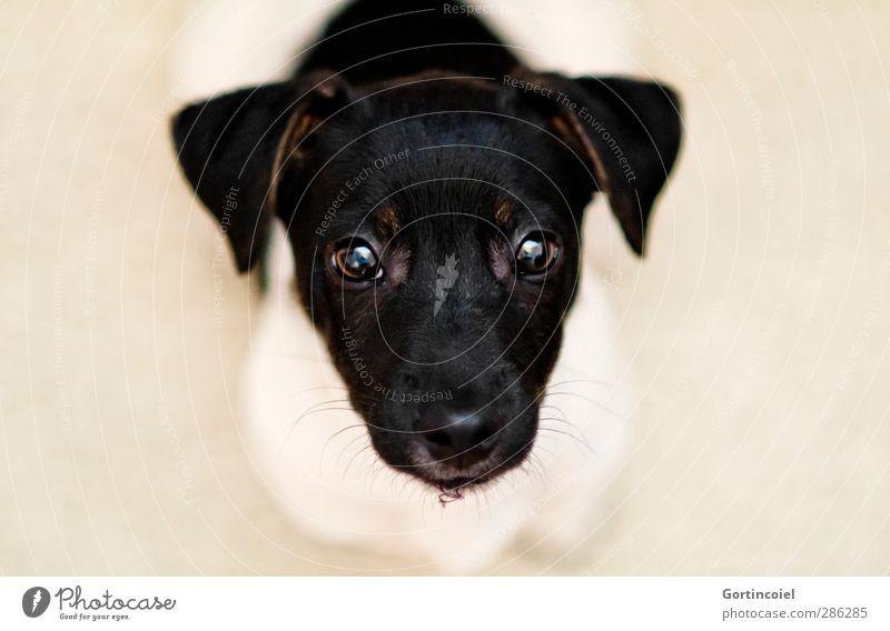 Bounty Tier Haustier Hund Tiergesicht Fell 1 Tierjunges niedlich Jack-Russell-Terrier Knopfauge Auge Ohr Wachsamkeit Welpe schön Hundeschnauze Hundeblick