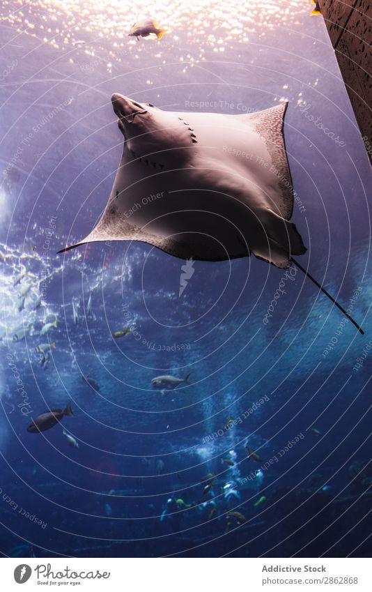 Verschiedene Fische im großen Aquarium Schwimmsport tropisch seicht Verschiedenheit Dubai exotisch Wasser Haifisch Rochen blau natürlich marin durchsichtig Tier