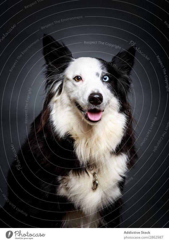 Lustiger Hund mit anderen Augen lustig Heterochromie Haustier niedlich außergewöhnlich Border Collie reizvoll Tier heimisch Säugetier Reinrassig pelzig flockig