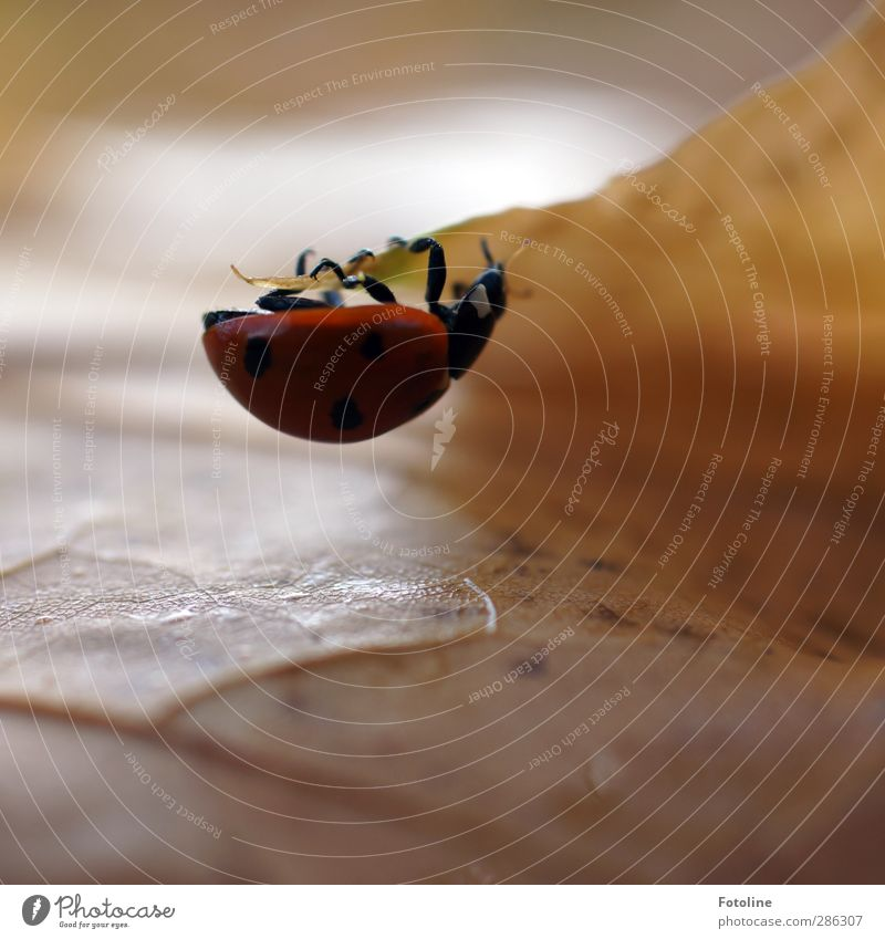 Käfer-Fitnesscenter Natur Pflanze rot Tier Blatt schwarz Umwelt Herbst klein Beine braun natürlich Wildtier stark Tiergesicht Insekt