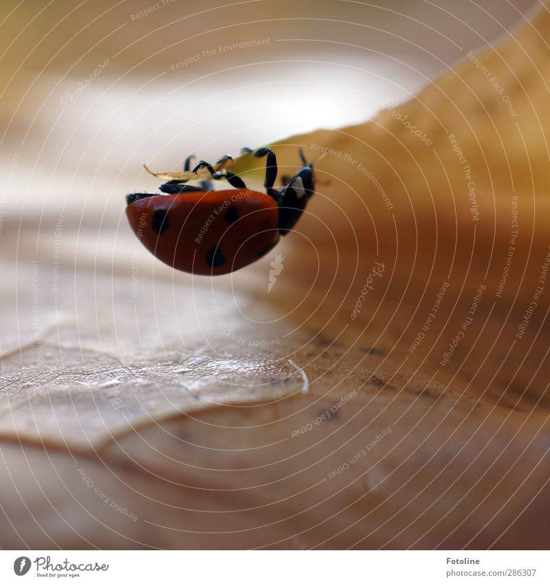 Käfer-Fitnesscenter Umwelt Natur Pflanze Tier Herbst Blatt Wildtier Tiergesicht klein natürlich stark braun rot schwarz Marienkäfer Beine Insekt herbstlich
